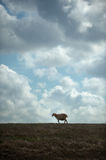 Sheep lonely walking Royalty Free Stock Image