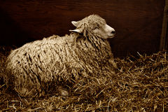 Sheep with long fleece resting in straw bedding Royalty Free Stock Image