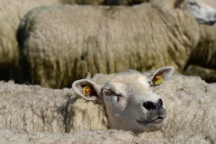 Sheep Look Stock Photos