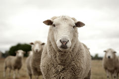 Sheep. Look at the camera in a field of Royalty Free Stock Photos