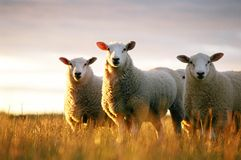 Sheep looking. Sheep in long grass at sun set Stock Photo