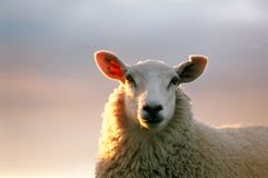 Sheep looking. A close up photo of a sheep's head Royalty Free Stock Photography