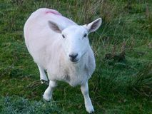 Sheep looking alert and inquisitive Royalty Free Stock Image