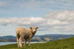 Sheep looking back Royalty Free Stock Photo