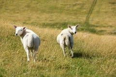 Sheep looking back Royalty Free Stock Image