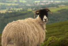 Sheep looking backwards with thick coat Stock Photo