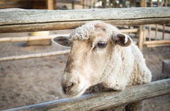 Sheep. Looking at the camera.  over the fence close-up Stock Photo