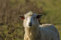 Sheep Looking Stock Image