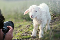 Sheep looking at camera Stock Photography