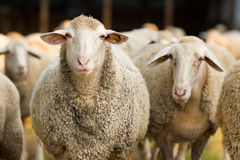 Sheep looking at camera Royalty Free Stock Image