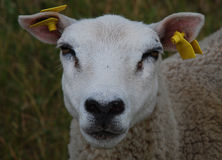 Sheep looking at camera Royalty Free Stock Images