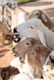 Sheep looking for feeding Stock Photos