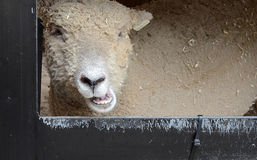 Sheep head Royalty Free Stock Image