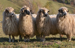 Sheep looking Stock Images