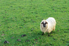 Sheep looking on grass Royalty Free Stock Images