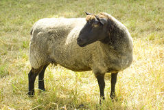 Sheep Looking Left Royalty Free Stock Image
