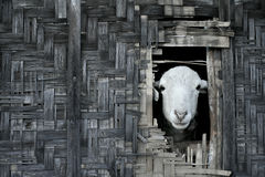 Sheep looking out from thatched bamboo hut Stock Photography