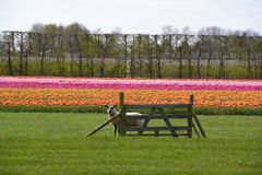 Sheep looking over fence with tulip field behind royalty free stock photography