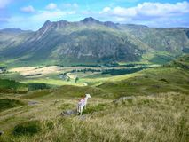 Sheep looking over Great Langdale Stock Photography