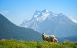 Sheep looking to camera Royalty Free Stock Photo