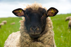Sheep. Is looking in to the camera Royalty Free Stock Photos