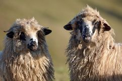 Sheep. Two Sheep looking at the same thing royalty free stock photos