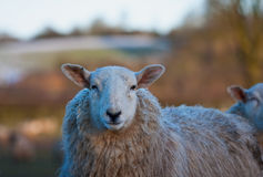 Sheep looking unimpressed Stock Photos