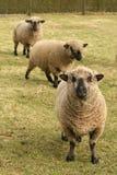 Sheep looking at you Stock Photography