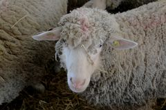 Sheep looking at you in the barn. Beautiful white sheep loves to take pictures and looking at the camera royalty free stock images