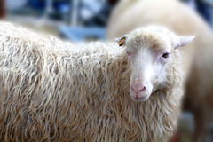 Sheep looks. A sheep looks curiously and head-on Stock Images