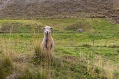 A sheep looks forward in the middle of a pasture royalty free stock image