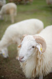 The sheep. Looks very pretty and cuddly with its soft fur Royalty Free Stock Image