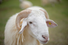 The sheep. Looks very pretty and cuddly with its soft fur Stock Photography