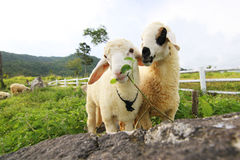 Sheep in love. Two romantic sheep in love Stock Photos