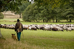 Sheep in Lueneburg Heath Royalty Free Stock Image