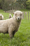 Sheep. A sheep in a lush New Zealand paddock Stock Photo