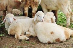 Sheep is lying Stock Photos