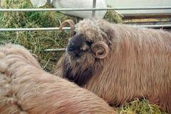 Sheep in straw Stock Photo