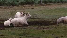 Sheep lying on the field in dirt. Two white lambs standing close to mother. Animals grazing on the meadow. Sheep lying on the field in dirt. Two white lambs stock video