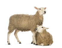 Sheep lying in front of another standing Royalty Free Stock Photography