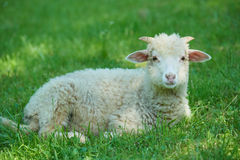 Sheep lying on the grass Stock Image
