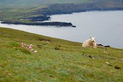 Sheep lying in the grass - Ireland. Photo from Valentia Island - Ireland, a sheep lying in the grass Stock Photo