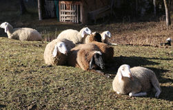 Sheep lying on the grass in winter Royalty Free Stock Photography