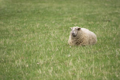 Sheep. On lying on grassland Stock Photos