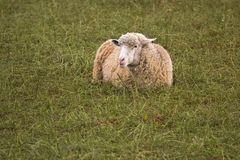 Sheep lying in a green field Royalty Free Stock Photography
