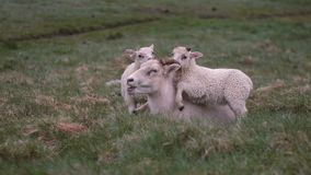 Sheep lying on the green field. Her two white lambs standing close to mother, playing with her horns. Animals grazing on the meadow stock video