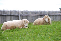 Sheep lying in green field. Two sheep lying in green field with fence in background Royalty Free Stock Image