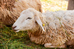 Sheep lying Royalty Free Stock Photography