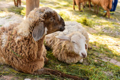 Sheep lying Stock Images