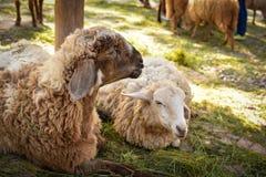 Sheep lying Stock Image